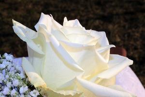 rose-1260219_960_720